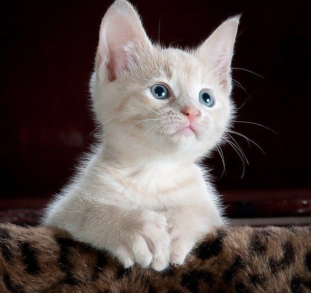 kitty-551554_640